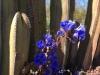 desert blue bell