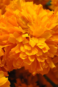 chrysanthium