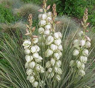 yucca plant photo
