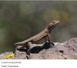 Do you ever wonder why lizards do push-ups?