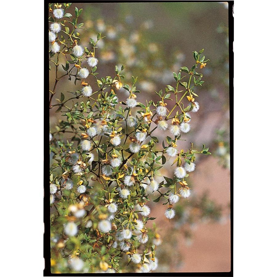 desert rain creosote plant